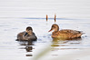 """<div class=""""jaDesc""""> <h4>Gadwall Pair - November 10, 2014 </h4> <p>It was nice to catch the water trail off the male Gadwall's beak.  The male and female each have unique feather details.  Main pool at Montezuma NWR.</p> </div>"""