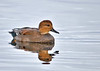 """<div class=""""jaDesc""""> <h4>Gadwall with Reflection - November 10, 2014 </h4> <p>The Gadwall's coloring looks very different depending on the light, ranging from subdued gray to a golden glow.  Main pool at Montezuma NWR.</p> </div>"""
