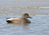 "<div class=""jaDesc""> <h4>Male Gadwall - March 31, 2014 </h4> <p>This male Gadwall was with his mate in the main pool at Montezuma NWR.  He was paddling back and forth in front of her.</p> </div>"