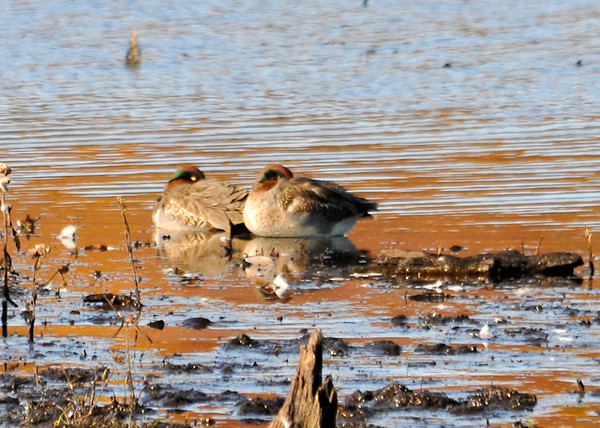"""<div class=""""jaDesc""""> <h4>Male Green-winged Teals Napping - November 6, 2013 </h4> <p>These two male Green-winged Teals were snoozing in the morning sunshine at Bombay Hook NWR in Delaware.  I did not see any other Teal, just lots of Mallards.</p> </div>"""