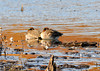 "<div class=""jaDesc""> <h4>Male Green-winged Teals Napping - November 6, 2013 </h4> <p>These two male Green-winged Teals were snoozing in the morning sunshine at Bombay Hook NWR in Delaware.  I did not see any other Teal, just lots of Mallards.</p> </div>"