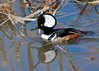 "<div class=""jaDesc""> <h4>Male Hooded Merganser Following His Mate - March 31, 2014 </h4> <p>Sensing my presence, this male Hooded Merganser was on alert with his hood fully extended.  He was following close behind his mate as they paddled by. </p> </div>"