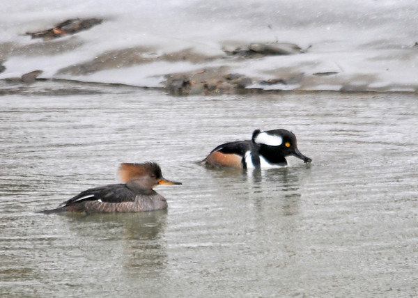 "<div class=""jaDesc""> <h4>Hooded Merganser Pair Paddling Together - March 15, 2013 </h4> <p>They were both taking turns diving for food, but sticking pretty close together.</p> </div>"