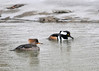 """<div class=""""jaDesc""""> <h4>Hooded Merganser Pair Paddling Together - March 15, 2013 </h4> <p>They were both taking turns diving for food, but sticking pretty close together.</p> </div>"""