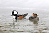 "<div class=""jaDesc""> <h4>Handsome Hooded Merganser Pair - March 15, 2013 </h4> <p>He continued to display his hood as he joined up with the female.</p> </div>"