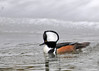 "<div class=""jaDesc""> <h4>Male Hooded Merganser - Hood Fully Up - March 15, 2013 </h4> <p>He was really showing off for this female in this shot as he approached her.</p> </div>"
