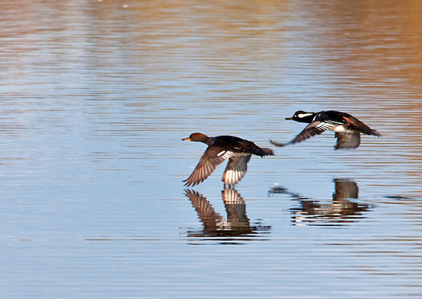 "<div class=""jaDesc""> <h4>Hooded Mergansers  Pair - October 28, 2011 </h4> <p> I had just started to get shots of this Hooded Merganser pair when they suddenly took off.  I got lucky and caught up to them in the lens as they flew away .</p> </div>"
