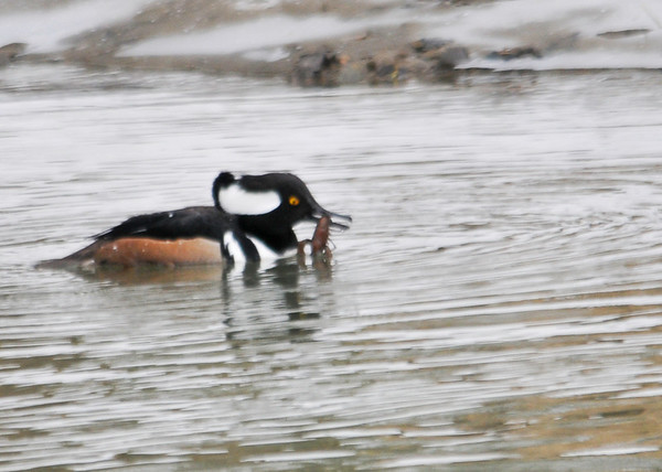 """<div class=""""jaDesc""""> <h4>Male Hooded Merganser Catches Crayfish - March 15, 2013 </h4> <p>The Merganser pair were constantly diving in the 2 feet deep creek.  The male came up with a crayfish on this dive.  He then started playing with it in his beak. </p> </div>"""