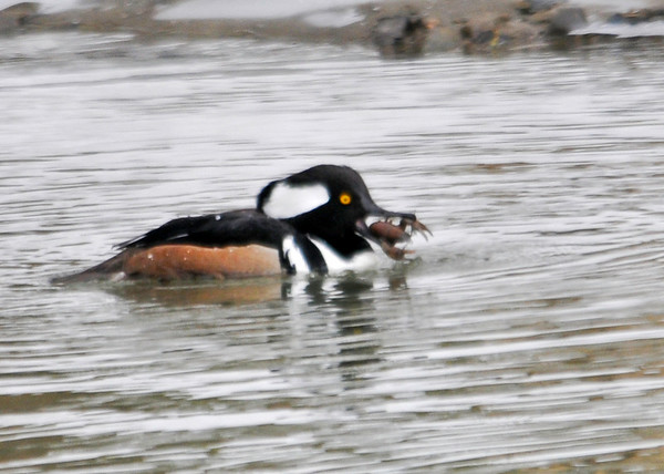 "<div class=""jaDesc""> <h4>Male Hooded Merganser Ready to Swallow Crayfish - March 15, 2013 </h4> <p>After getting the crayfish sideways in his beak, he threw his head back and swallowed it whole.  They must have pretty sturdy digestive tracks.</p> </div>"