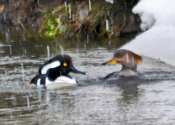 "<div class=""jaDesc""> <h4>Hooded Merganser Pair in Snow - March 15, 2013 </h4> <p>This Hooded Merganser pair were foraging in a country stream.  It started snowing as I watched them paddling and diving for food.  Then they briefly turned toward each other for this shot.</p> </div>"
