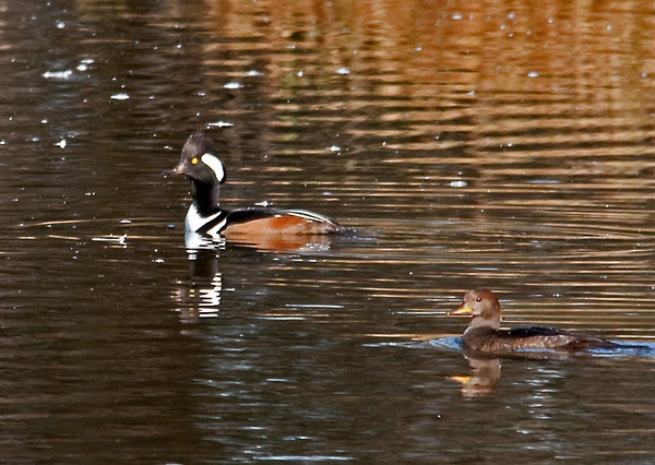 "<div class=""jaDesc""> <h4>Hooded Merganser Pair - October 28, 2011 </h4> <p> I took a few handheld shots of this Hooded Merganser pair and was planning to set up my tripod for some better shots when they surprised me and took off suddenly.  See next photo.</p> </div>"