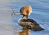 "<div class=""jaDesc""> <h4>Female Hooded Merganser Paddling in Stream - March 31, 2014 </h4> <p>Several pairs of Hooded Mergansers were paddling in the stream next to Towpath road in the Montezuma NWR.  There was alot of dried tall grass along the bank which made them less spooky about my presence.  The challenge was to find an open lane to get an unobstructed shot.  The morning light was perfect!</p> </div>"