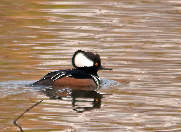 "<div class=""jaDesc""> <h4>Male Hooded Merganser - November 26, 2011 </h4> <p> A fellow birder gave me a tip that there were about 20 Hooded Mergansers at a wetland behind the Best Buy in Vestal, NY.  When I arrived at the site, I saw over 40 (roughly equal numbers of males and females) spread out fairly close to me.  As I got out of my truck and got ready for photos, they started swimming away quickly. I was able to manage some shots before they put too much distance between us.</p> </div>"