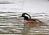 """<div class=""""jaDesc""""> <h4>Male Hooded Merganser Paddling in Country Stream - March 15, 2013 </h4> <p>I could just barely see a pair of Hooded Mergansers along the edge of a country stream as I was driving by.  I backed up to see if they would come out into the open.  After a few minutes they started paddling toward me.</p> </div>"""
