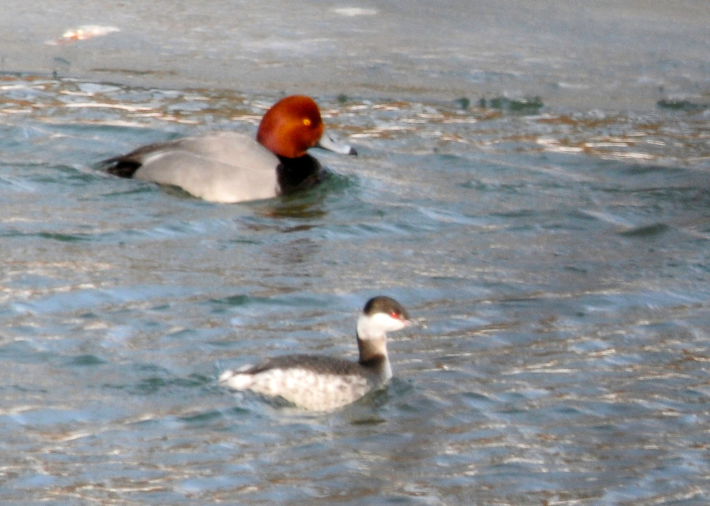 "<div class=""jaDesc""> <h4>Horned Grebe in Winter Plumage - February 7, 2014 </h4> <p>This Horned Grebe in winter plumage was paddling along with a Redhead Duck in the Susquehanna River. </p> </div>"
