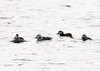 "<div class=""jaDesc""> <h4> Immature Long-tailed Ducks - 1st Group - Amherst Island - January 31, 2012 </h4> <p> Two small groups of immature Long-tailed Ducks were swimming in Lake Ontario on the south side of Amherst Island.  Long-tailed Ducks winter in very large lakes or the ocean, but head north to fresh water pools in the tundra for nesting. </p> </div>"