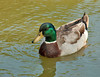 "<div class=""jaDesc""> <h4>Male Mallard Close-up - March 22, 2008 </h4> <p>This male Mallard paddled up really close as I sat on a bench next to a pond.</p> </div>"