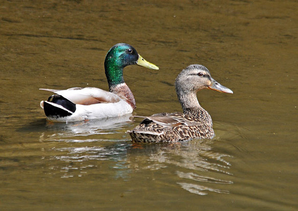 "<div class=""jaDesc""> <h4>Mallard Pair - May 27, 2010 </h4> <p>In the spring, the Mallards are paired up and the males are very protective of their mate - no other males are allowed to come anywhere near.</p> </div>"