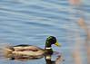 "<div class=""jaDesc""> <h4>Male Mallard Passing Through Grasses - October 19, 2015 </h4> <p>A pair of Mallards were paddling by in the main pool at Montezuma NWR..</p> </div>"