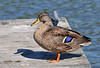 "<div class=""jaDesc""> <h4>Large Female Mallard Sunning - August 29, 2010 </h4> <p>This very large female Mallard was enjoying the afternoon sun on a dock by the sailing center in Ithaca, NY.</p> </div>"