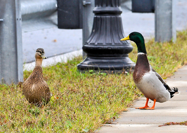 """<div class=""""jaDesc""""> <h4>Male Mallard Joins Mate - November 7, 2013 </h4> <p>While I was getting photos of this female Mallard, a male Mallard came racing in from an adjacent lot quacking loudly.  I think he thought I was trying to steal his girl.</p> </div>"""