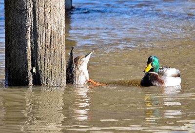"<div class=""jaDesc""> <h4>Mallard Pair Feeding by Pier - December 7, 2014 </h4> <p>This Mallard pair were hanging very close together.  The male was fending off other males as the female was feeding.</p> </div>"