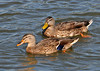 "<div class=""jaDesc""> <h4>Female Mallards Paddling By - August 29, 2010 </h4> <p>Two female Mallards paddled by a dock at the sailing center in Ithaca,NY.  I believe the one in back is an immature with the yellow beak and lack of blue feathers.</p> </div>"