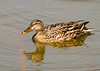 "<div class=""jaDesc""> <h4>Female Mallard in Morning Sun - May 22, 2008 </h4> <p>After splashing herself with water, this female Mallard sparkled in the morning sun.</p> </div>"