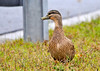 """<div class=""""jaDesc""""> <h4>Female Mallard by Busy Road - November 7, 2013 </h4> <p>I moved in as close as I could to this female Mallard who was grazing next to a busy road all by herself (I thought).</p> </div>"""