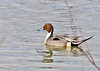 "<div class=""jaDesc""> <h4>Male Northern Pintail - March 23, 2014 </h4> <p>This male Northern Pintail was paddling in Owego Creek where it converges with the Susquehanna River in Owego, NY.  His mate was following close behind.  Notice the long thin tail, thus the apt name - Pintail.</p> </div>"