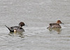 "<div class=""jaDesc""> <h4>Northern Pintail Pair - March 23, 2014 </h4> <p>Here the female Pintail is leading the way, swimming back upstream in the creek away from the river. </p> </div>"