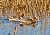 "<div class=""jaDesc""> <h4>Northern Pintail Pair Among Reeds - November 17, 2014 </h4> <p>This Pintail pair blended in well among the reeds with the early morning sunshine casting a warm glow.  Shearness Pool at Bombay Hook NWR, Delaware.</p> </div>"