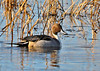 "<div class=""jaDesc""> <h4>Male Northern Pintail Among Reeds - November 17, 2014 </h4> <p>There were several dozen Northern Pintails in Shearness Pool at Bombay Hook NWR, Delaware.  This male was venturing out in the lead as they slowly moved through the reeds.</p> </div>"