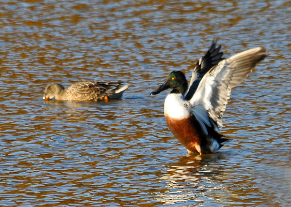 """<div class=""""jaDesc""""> <h4>Northern Shoveler Pair - November 6, 2013 </h4> <p> There were dozens of Northern Shoveler ducks at Bombay Hook NWR dabbling in the shallow ponds.  This pair was off by themselves.</p> </div>"""