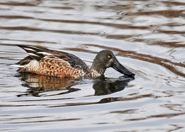 """<div class=""""jaDesc""""> <h4>Male Northern Shoveler - Black Bill - November 10, 2014</h4> <p>Northern Shovelers have the largest bills of all North American ducks.  They frequently swim with their bill partly submerged, straining water for small aquatic plants and animals through comb-like teeth on the sides of their bill. (Montezuma NWR) </p> </div>"""