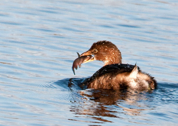 """<div class=""""jaDesc""""> <h4> Immature Pied-billed Grebe Ready to Swallow Fish - October 28, 2011 </h4> <p> Before swallowing her catch, this Pied-billed Grebe was swimming back and forth playing with it in her beak.</p> </div>"""