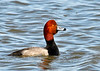 "<div class=""jaDesc""> <h4>Male Redhead Duck Looking for Mate - March 31, 2014 </h4> <p>This is one of the single male Redheads on Cayuga Lake that was looking for a mate.  There were very few females to choose from, and most of them already had a male escort.</p> </div>"