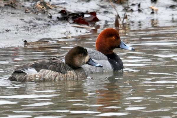 "<div class=""jaDesc""> <h4>Redhead Duck Pair in Creek - March 31, 2014 </h4> <p> This Redhead Duck pair was swimming upstream in a creek that feeds Lake Cayuga. </p> </div>"