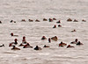 """<div class=""""jaDesc""""> <h4> Redhead Duck Flock - March 1, 2011 </h4> <p> Along the west side of Cayuga Lake, I found a large flock of Redhead Ducks.  They had stopped for a break on their migration north to fresh water marshes in southern Canada.</p> </div>"""