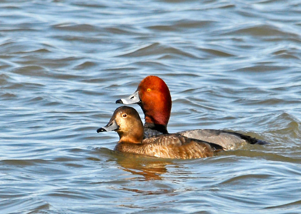 "<div class=""jaDesc""> <h4>Redhead Duck Pair on Lake Cayuga - March 31, 2014 </h4> <p> In front of the enormous raft of Snow Geese resting on the ice on Cayuga Lake, there were hundreds of migrating ducks in the water.  Many of the ducks were Redheads.  This pair were sticking close together as they paddled among lots of jealous male Redheads.</p> </div>"