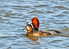 """<div class=""""jaDesc""""> <h4>Redhead Duck Pair on Lake Cayuga - March 31, 2014 </h4> <p> In front of the enormous raft of Snow Geese resting on the ice on Cayuga Lake, there were hundreds of migrating ducks in the water.  Many of the ducks were Redheads.  This pair were sticking close together as they paddled among lots of jealous male Redheads.</p> </div>"""