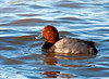 """<div class=""""jaDesc""""> <h4> Male Redhead Duck - December 1, 2011 </h4> <p> At Stewart Park near Ithaca, NY this afternoon I got my first opportunity to get some Redhead Duck photos. There were 2 males paddling around among hundreds of Mallards in a nice setting sunlight.</p> </div>"""