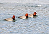 "<div class=""jaDesc""> <h4> Male Redhead Duck Trio - February 8, 2014 </h4> <p> Three male Redhead ducks were paddling in the Susquehanna River near Nichols, NY.  </p> </div>"