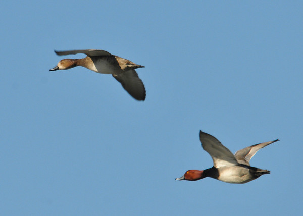 "<div class=""jaDesc""> <h4>Redhead Duck Pair In-flight - March 31, 2014 </h4> <p> I was practicing my in-flight shots as lots of ducks were flying by.  This Redhead pair had been hanging out together near me for over half an hour..</p> </div>"