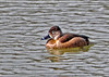 "<div class=""jaDesc""> <h4> Female Ring-necked Duck in Afternoon Sun - March 26, 2014 </h4> <p>  The female Ring-necked Duck has a brown coloring that helps her blend in with her nesting area.</p> </div>"