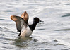 "<div class=""jaDesc""> <h4> Male Ring-necked Duck Wing Flap #3 - March 31, 2014 </h4> <p> </p> </div>"