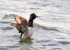 "<div class=""jaDesc""> <h4> Male Ring-necked Duck Wing Flap #1 - March 31, 2014 </h4> <p> After a vigorous grooming session, this male Ring-necked Duck did 4 rapid wing flaps in less than 2 seconds to shake off the water drops.</p> </div>"