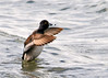 "<div class=""jaDesc""> <h4> Male Ring-necked Duck Wing Flap #2 - March 31, 2014 </h4> <p> </p> </div>"