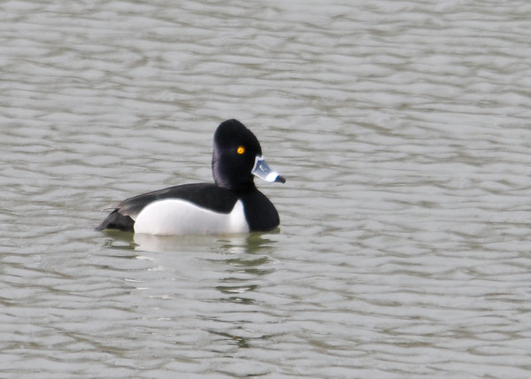 """<div class=""""jaDesc""""> <h4> Ring-necked Duck Side View - March 26, 2014 </h4> <p>  I goofed on this ID and will move it to the right gallery next week. This smaller Ring-necked duck was vying for the attention of a female along with another male.</p> </div>"""