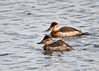 "<div class=""jaDesc""> <h4>Ruddy Duck Pair - December 16, 2014 </h4> <p>This Ruddy Duck pair was swimming together a bit separate from the other dozen Ruddy Ducks at Prime Hook NWR on the Delaware coast.  They are so little and bob in the water ripples kind of like bathtubs toys.  Male in back is somewhat brighter.</p> </div>"